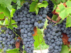 Perigeaux Vineyard Southern Maryland Grapes