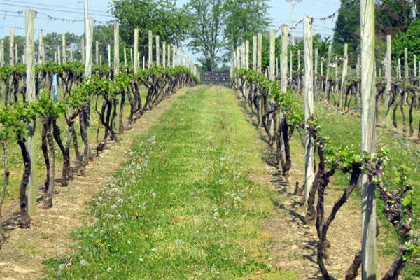 The Perigeaux Vineyards Gallery 2