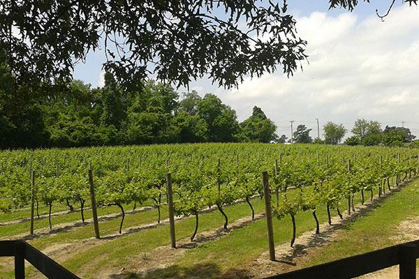 The Vineyards Gallery Photo 5